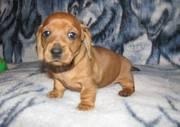KC registered Pedigree Dachshund Puppies