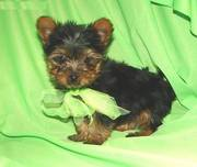 Excellent Yorkshire Terrier Puppies for New Year