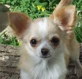 ANGELIC CHIHUAHUA PUPPIES ON SALE