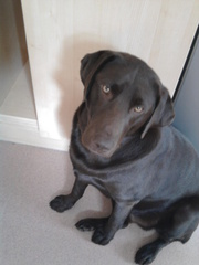 Chocolate Labrador 18 months for sale £150 0vno